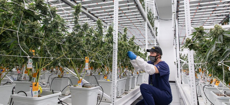 man tending to cannabis