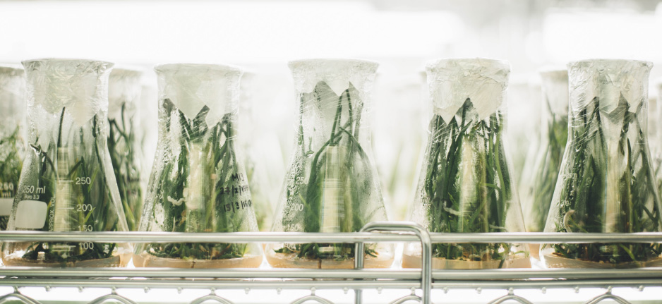cannabis in jars in a lab
