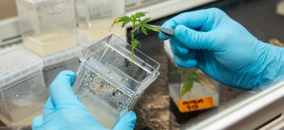 tissue culture in a cannabis lab