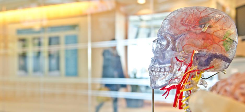 skeleton skull in museum